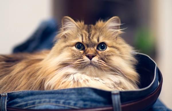Персидская кошка - описание породы, фото, чем кормить 1