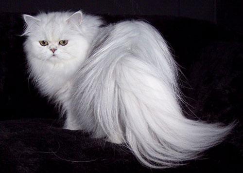 Персидская кошка - описание породы, фото, чем кормить 2