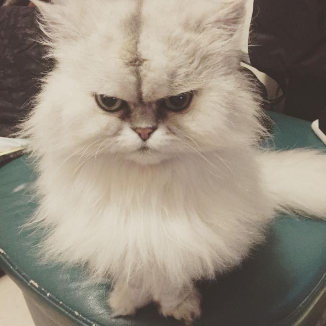 Персидская кошка - описание породы, фото, чем кормить 3