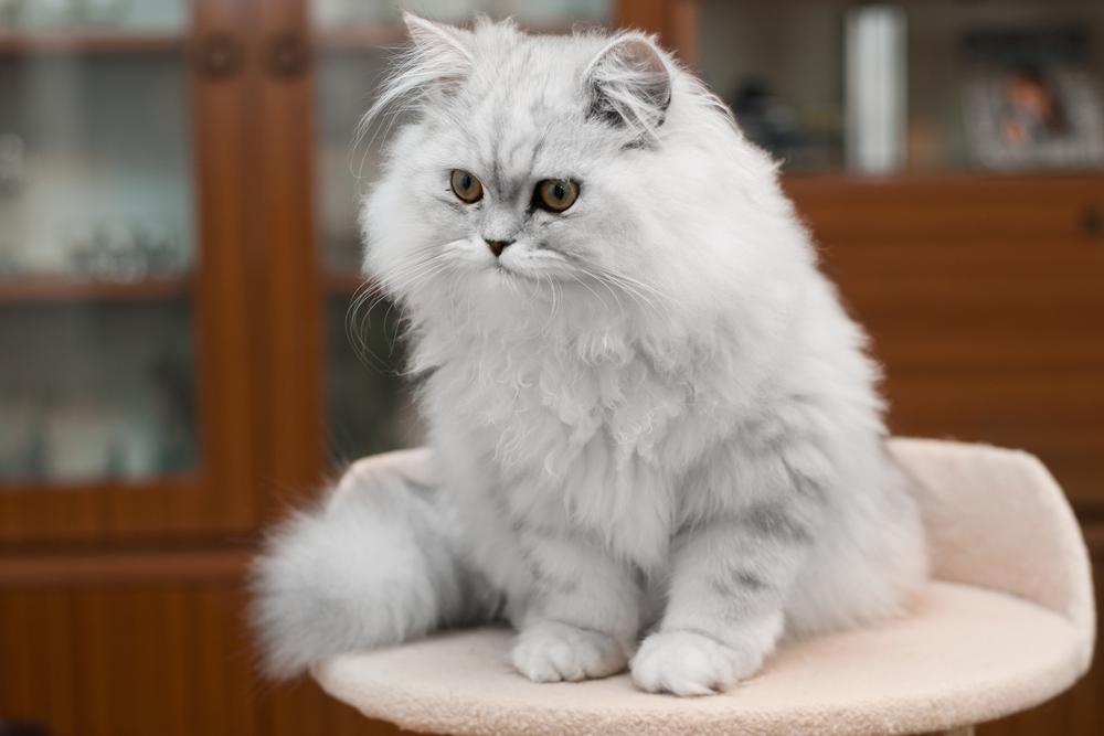 Персидская кошка - описание породы, фото, чем кормить 4