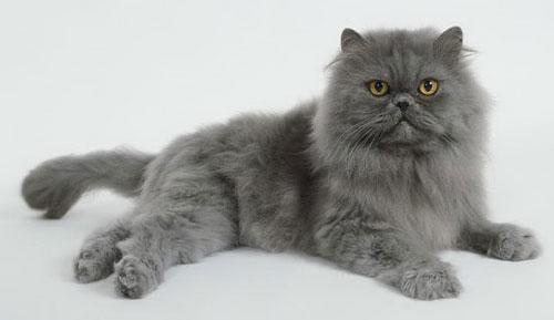 Персидская кошка - описание породы, фото, чем кормить 5