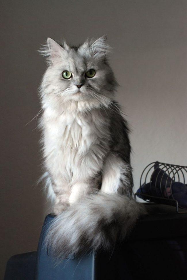Персидская кошка - описание породы, фото, чем кормить 6