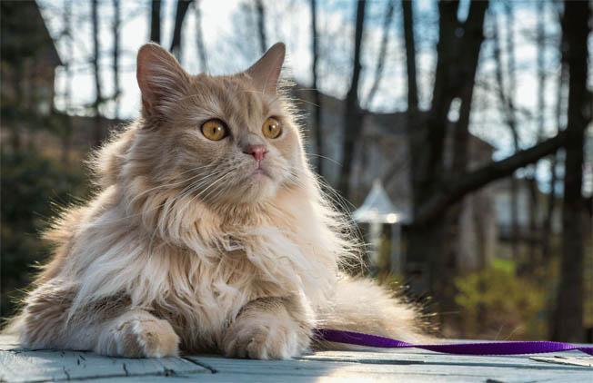 Персидская кошка - описание породы, фото, чем кормить 7