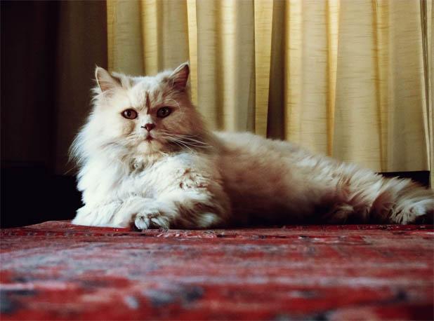 Персидская кошка - описание породы, фото, чем кормить 8