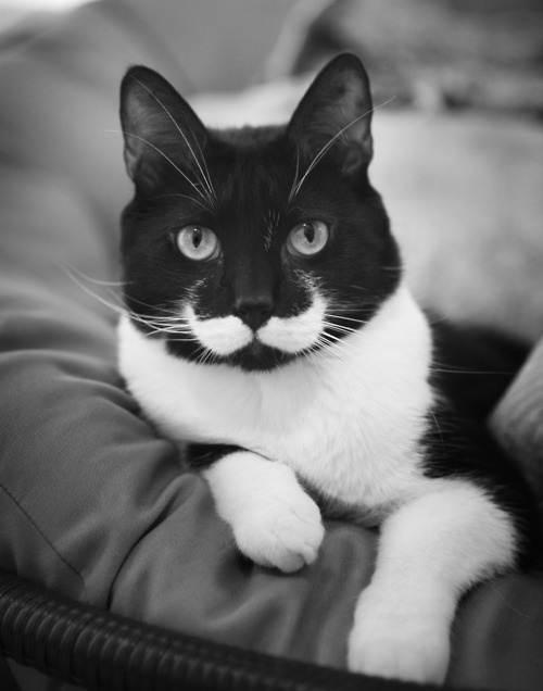 Черно-белые картинки котов, красивые коты - фото черно-белые 1