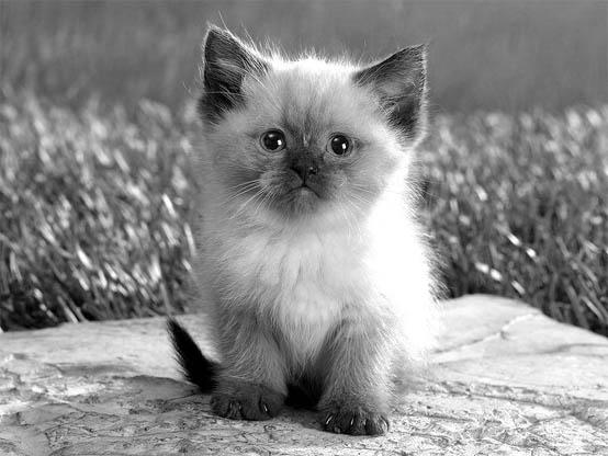 Черно-белые картинки котов, красивые коты - фото черно-белые 10