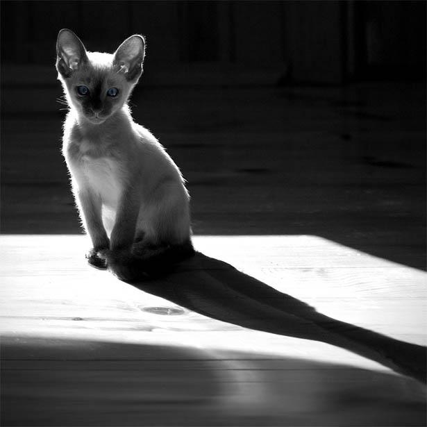 Черно-белые картинки котов, красивые коты - фото черно-белые 15