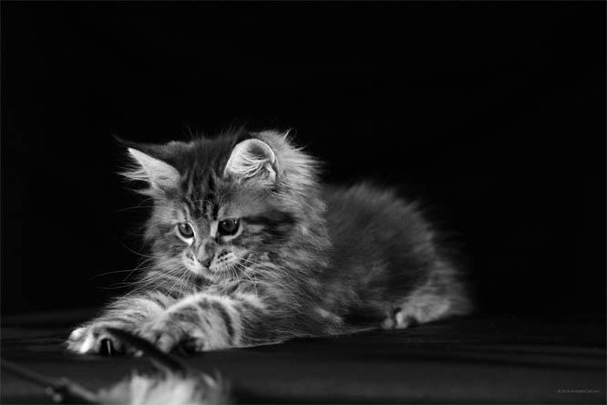 Черно-белые картинки котов, красивые коты - фото черно-белые 16