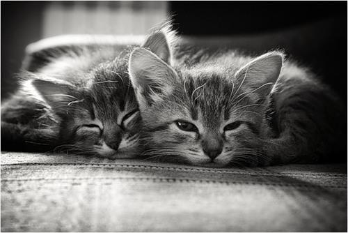 Черно-белые картинки котов, красивые коты - фото черно-белые 6