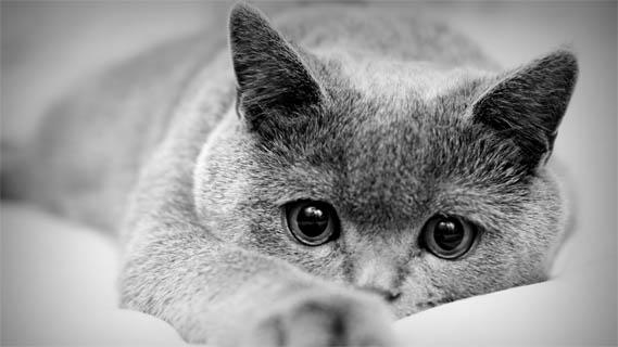 Черно-белые картинки котов, красивые коты - фото черно-белые 8
