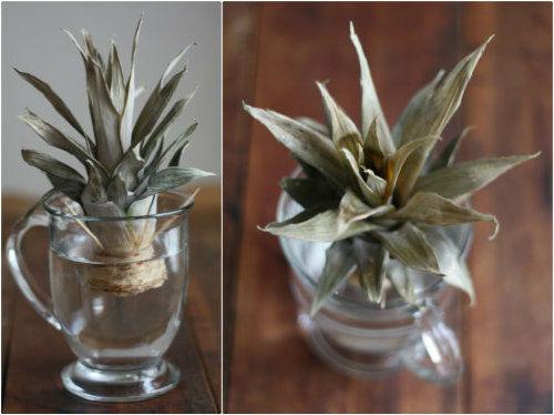 Как вырастить ананас в домашних условиях - посадка, уход 2