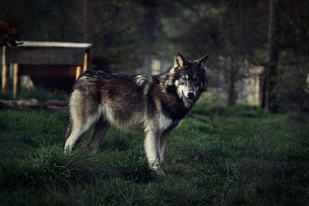 Картинки волков красивые на аву
