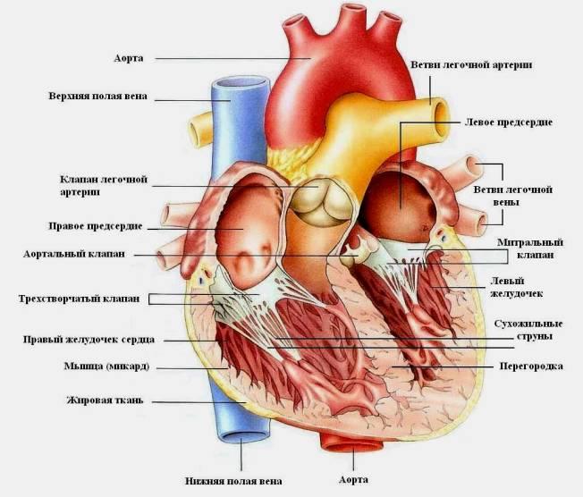 Строение сердца человека - анатомия, схема, функции 1