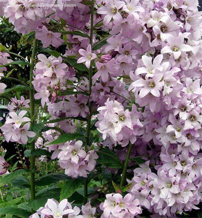 Виды колокольчиков - фото и название, садовые колокольчики 2
