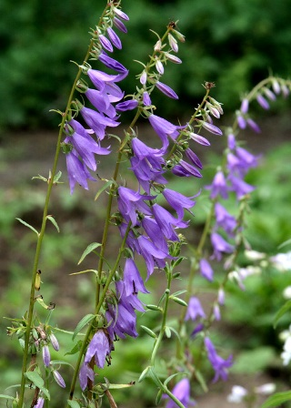 Виды колокольчиков - фото и название, садовые колокольчики 4