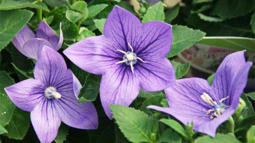 Виды колокольчиков - фото и название, садовые колокольчики 7