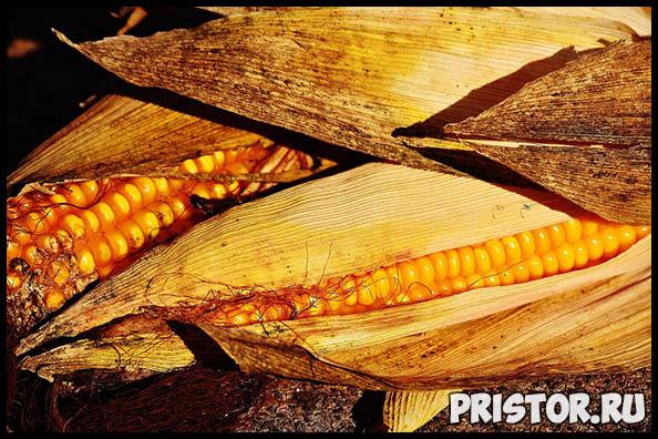 Как правильно и сколько варить кукурузу по времени - важные советы 3