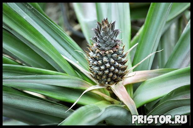 Как хранить ананас в домашних условиях - секреты хранения 2
