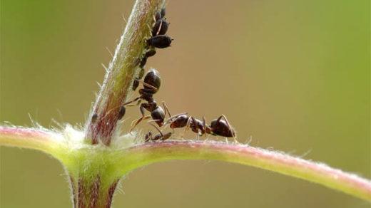Муравьи в огороде - как избавиться народными средствами, навсегда 1