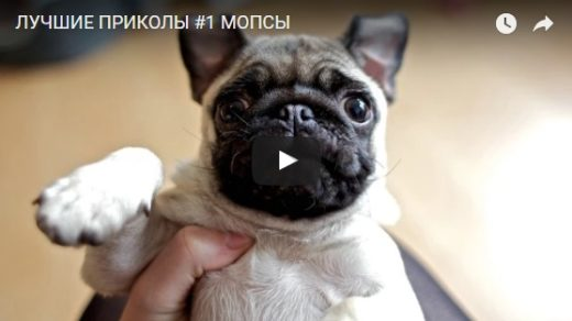 Смешные видео про мопсов - веселые, ржачные, прикольные