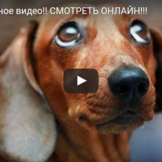 Смешные видео про такс - прикольные, веселые, забавные