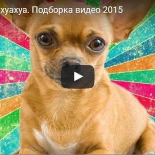 Смешные видео про чихуахуа - новые, свежие, прикольные