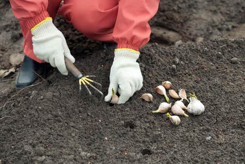 Как правильно вырастить крупный чеснок и его хранение - лучший способ 4
