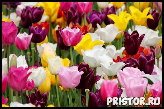 Когда выкапывать луковицы тюльпанов после цветения и как хранить 1
