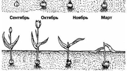 Когда выкапывать луковицы тюльпанов после цветения и как хранить 2