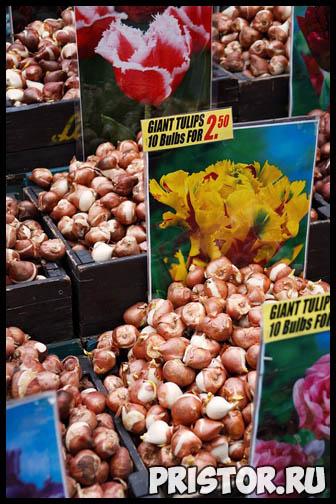 Когда выкапывать луковицы тюльпанов после цветения и как хранить 3