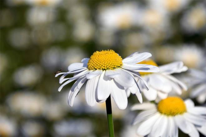 Красивые ромашки фото и картинки - удивительная и подборка 11