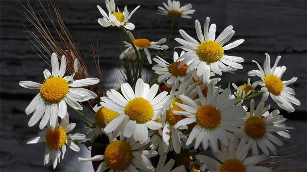 Красивые ромашки фото и картинки - удивительная и подборка 12