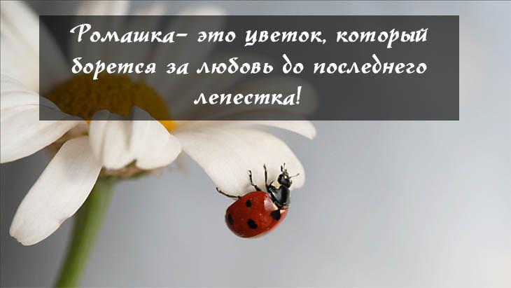 Красивые ромашки фото и картинки - удивительная и подборка 2