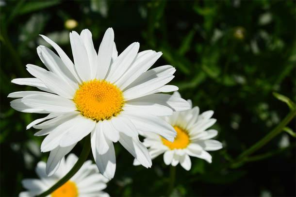 Красивые ромашки фото и картинки - удивительная и подборка 3