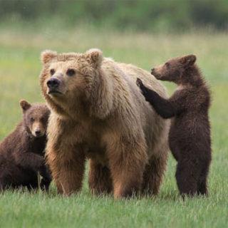Медведица с медвежатами - красивые фото и картинки, удивительные 2