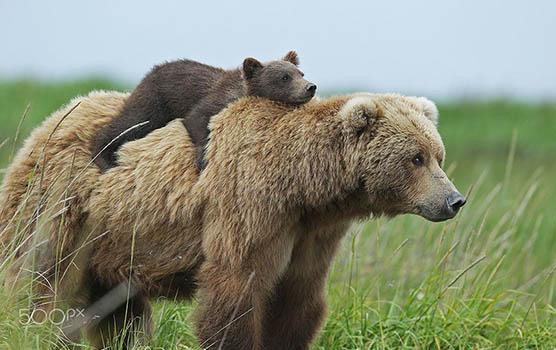 Медведица с медвежатами - красивые фото и картинки, удивительные 6