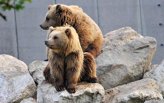 Медведица с медвежатами - красивые фото и картинки, удивительные 7
