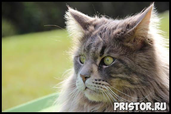 Самые известные породы кошек - топ 5 интересных и популярных пород 5