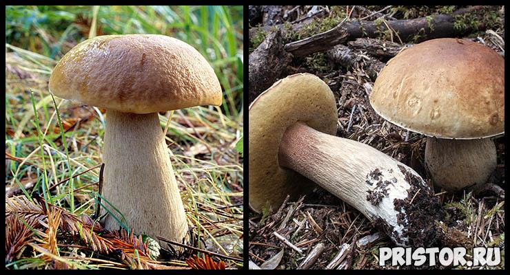 Белый гриб - фото и описание, как отличить белый гриб от ложного 2