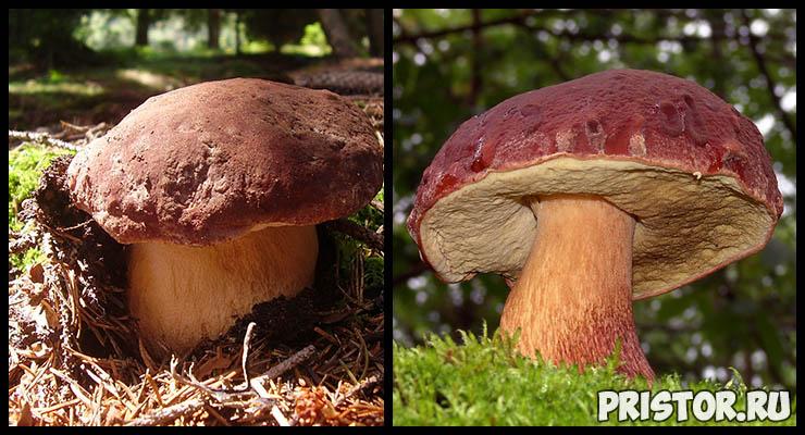 Белый гриб - фото и описание, как отличить белый гриб от ложного 3