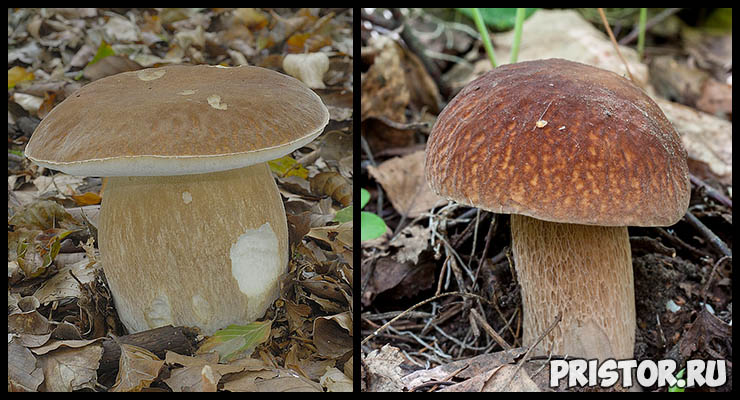 Белый гриб - фото и описание, как отличить белый гриб от ложного 4