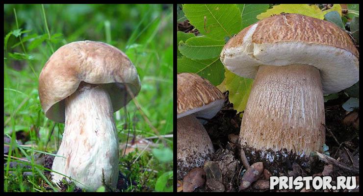 Белый гриб - фото и описание, как отличить белый гриб от ложного 5