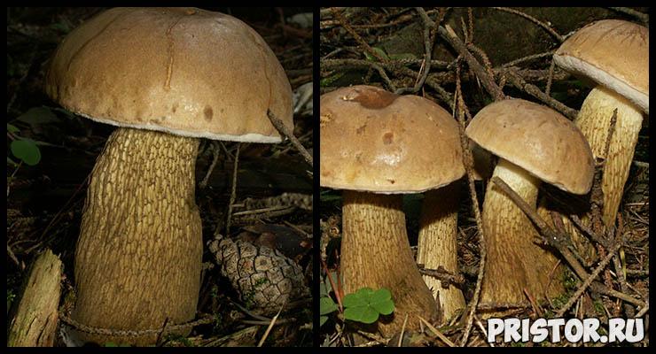 Белый гриб - фото и описание, как отличить белый гриб от ложного 7