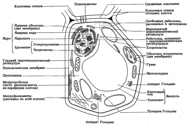 Какие функции выполняют клеточные органоиды Таблица, строение 1