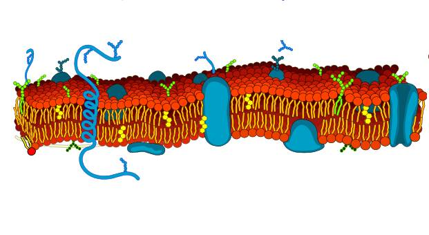Какую функцию выполняет клеточная мембрана - её свойства и функции 1