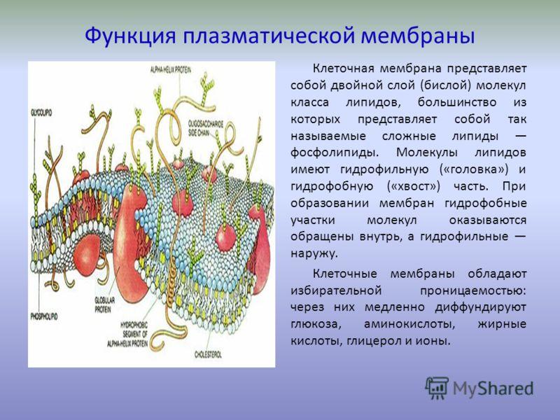 Какую функцию выполняет клеточная мембрана - её свойства и функции 2
