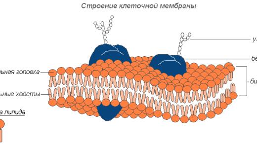 Какую функцию выполняет клеточная мембрана - её свойства и функции 4