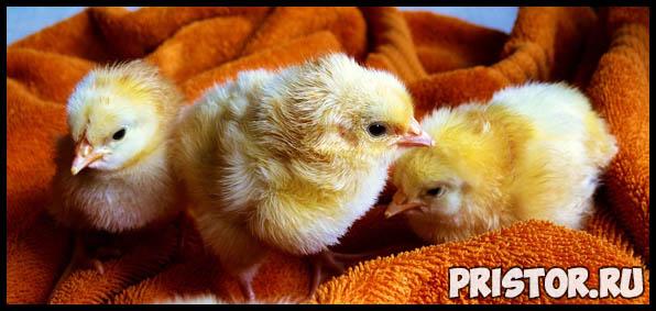 Как избавиться от куриных вшей и как их вывести в курятнике - способы 2