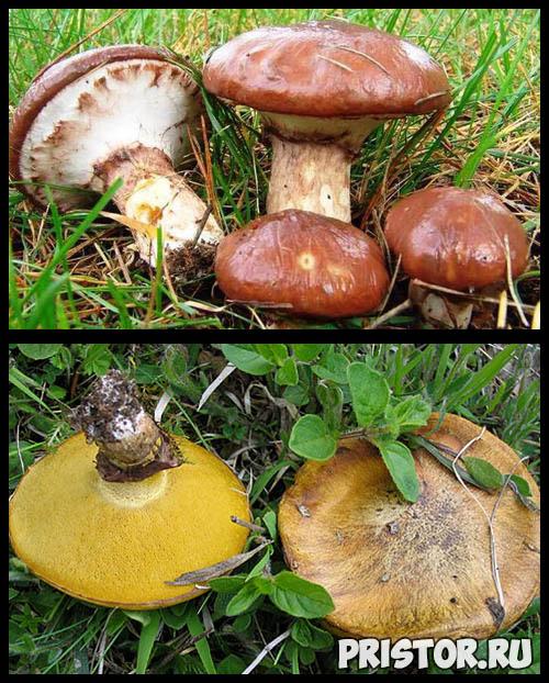 Маслята ложные и съедобные - фото, как отличить, описание грибов 2