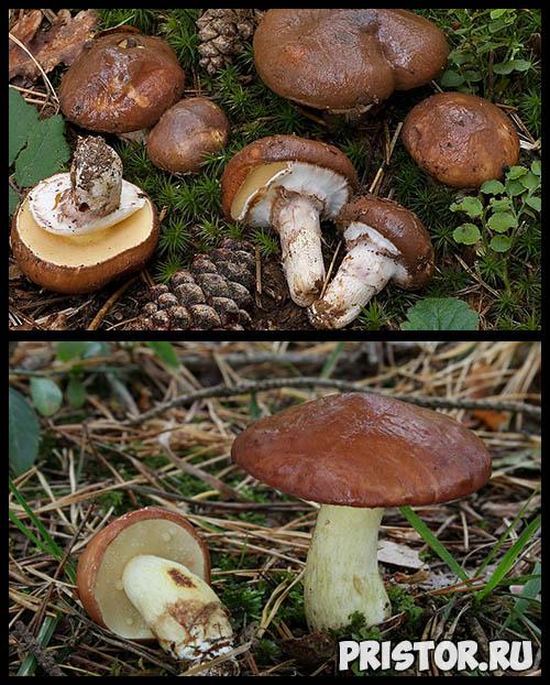 Маслята ложные и съедобные - фото, как отличить, описание грибов 3